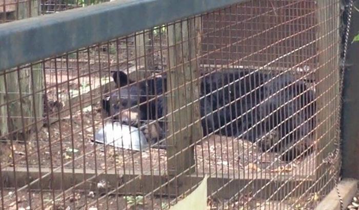 Медведь пребывает в состоянии так называемой *выученной беспомощности.*