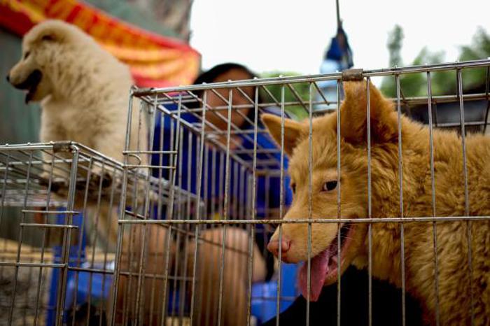 Собаки, ожидающие свою участь на азиатском рынке.
