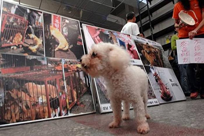 Протесты возымели эффект - теперь на Тайване законодательно нельзя мучить и убивать животных. ¦ Фото:  dailymail.co.uk.