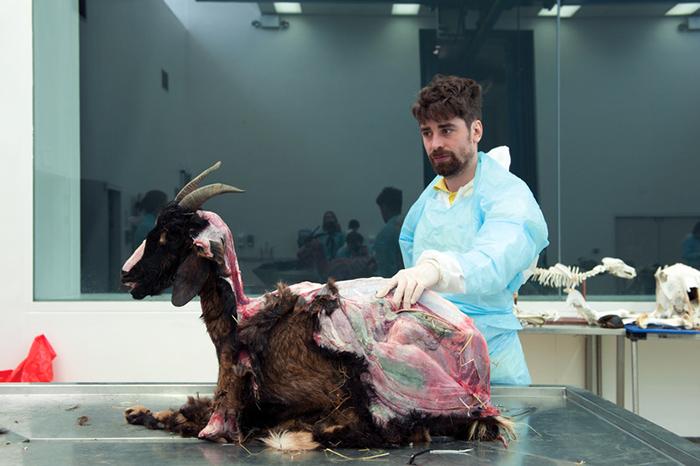 До проведения своего эксперимента Томас тщательно изучил строение коз, их образ жизни и их поведение.