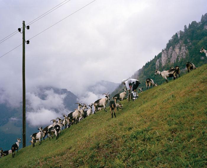 Томас решил превратиться в козу, так как именно это животное повсеместно распространено в Великобритании.