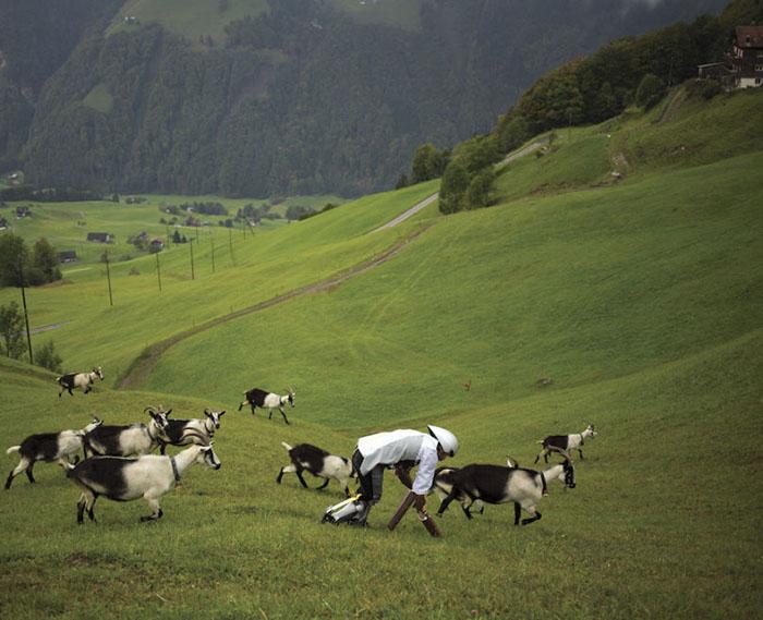 Томас провел три дня в швейцарских горах в компании стада коз.