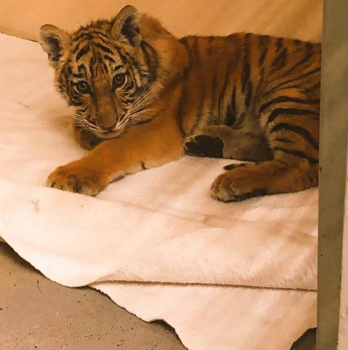 Сейчас тигренок уже чувствует себя хорошо, однако он будет вынужден всю жизнь жить в зоопарке.