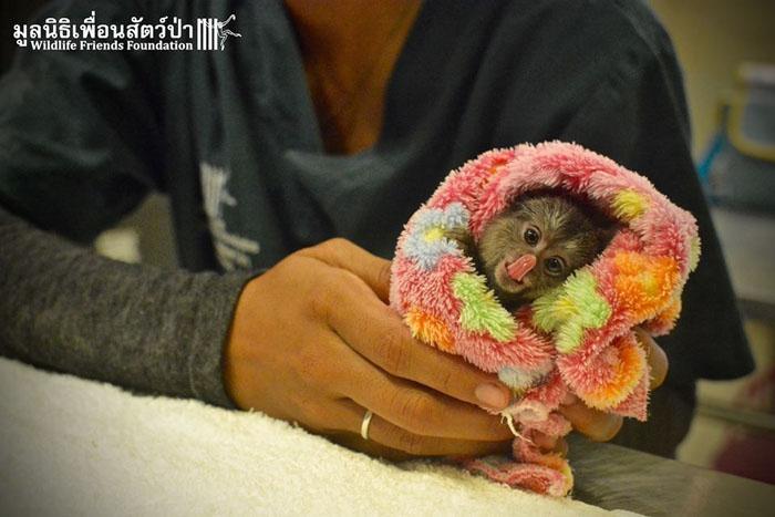 Мармосет - один из самых маленьких видов обезьян.