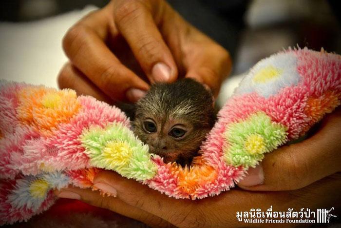 Мармосеты - совсем крошечные обезьянки.