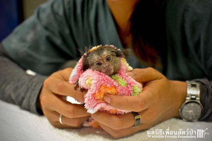 Крошечная обезьянка помещается в ладонях.
