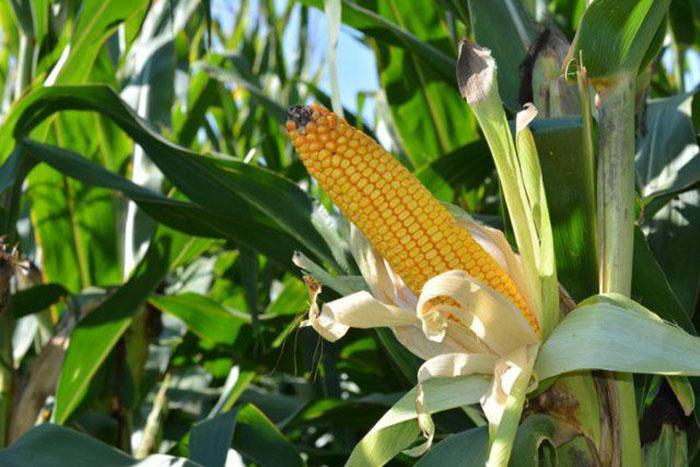 Початок кукурузы.
