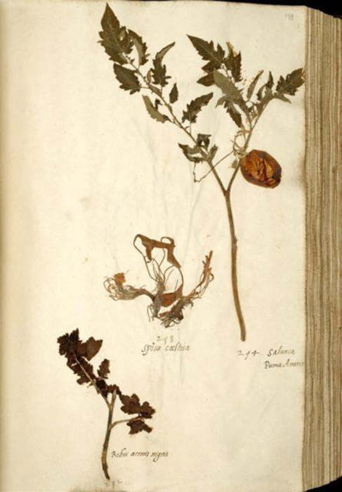 Гермарий томата в коллекции Лейдена 1542–1544.