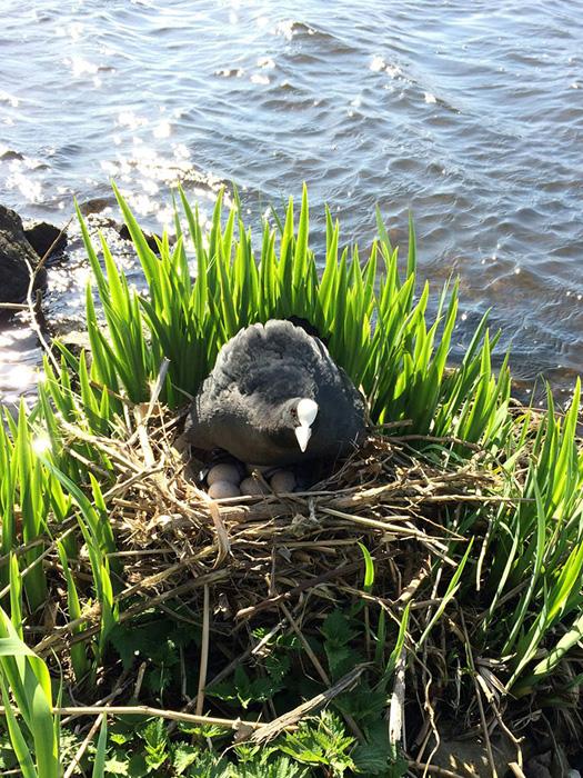 На очищенном берегу водоплавающая птица свила себе гнездо.