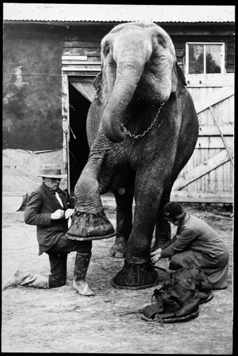 Обувь для слона.