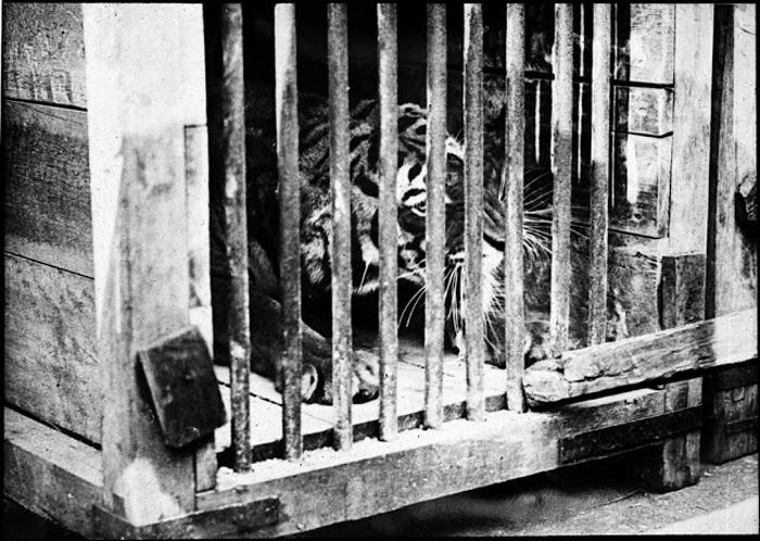 Тигр в клетке.