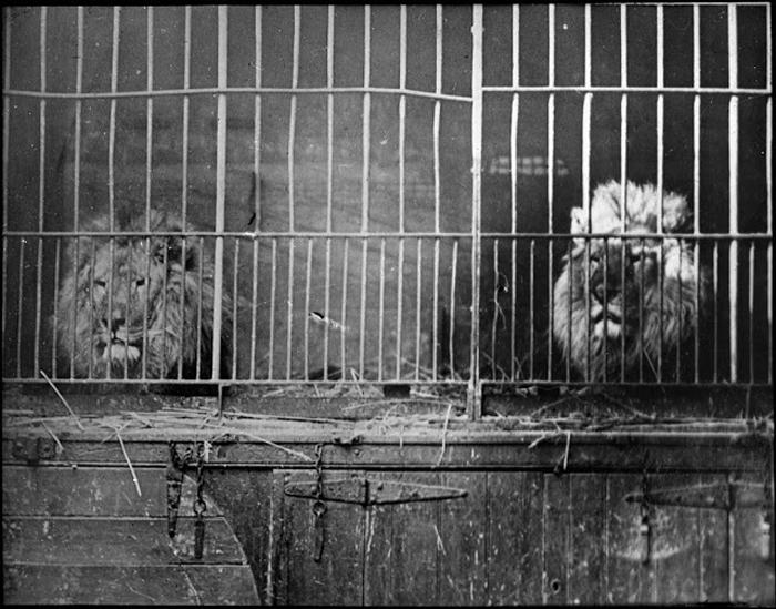 Два льва в клетке.