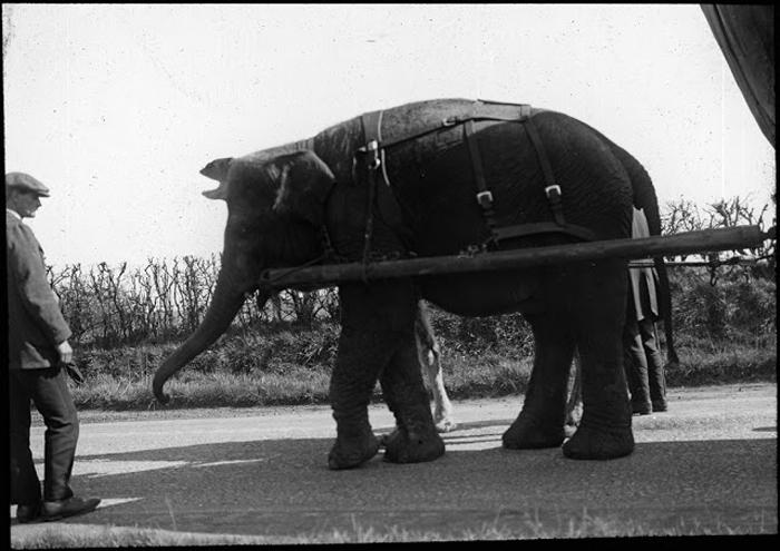 Запряженный слон идет по улицам.