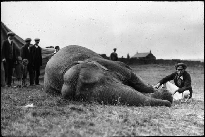 Мужчина рядом с лежащим слоном.