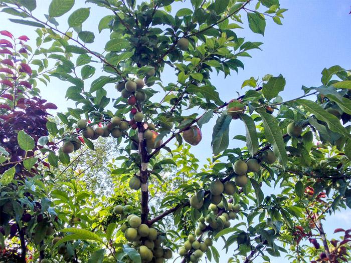 Почти каждая ветка на дереве - это отдельный сорт фруктов.