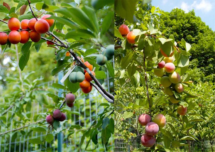 Дерево сорока фруктов.