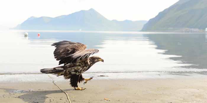 На Аляске много хищных птиц, но их количество в Уналашке просто поразительно.