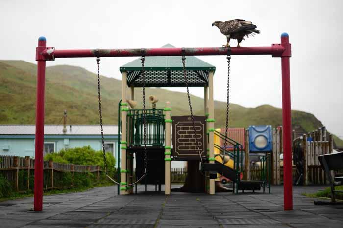 В Уналашке орланы - обычное зрелище на улице.