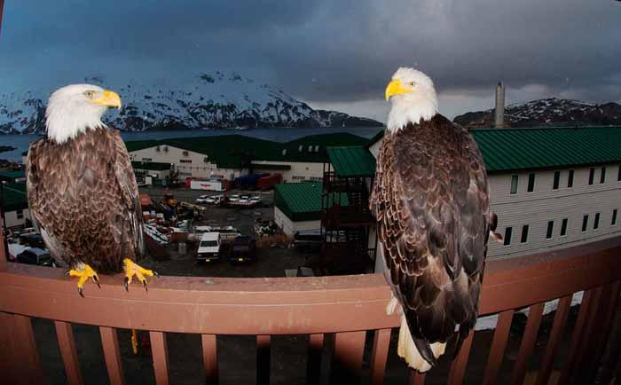 В Уналашке гнездится более 600 белоголовых орланов.