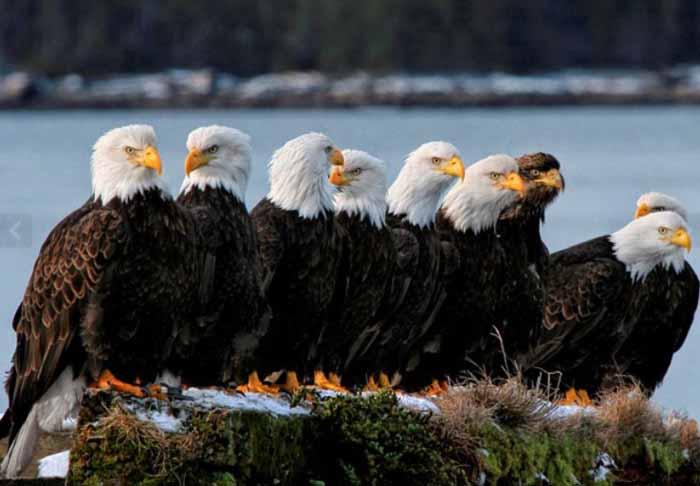 В летние месяцы орланы высиживают птенцов и потому становятся агрессивными.