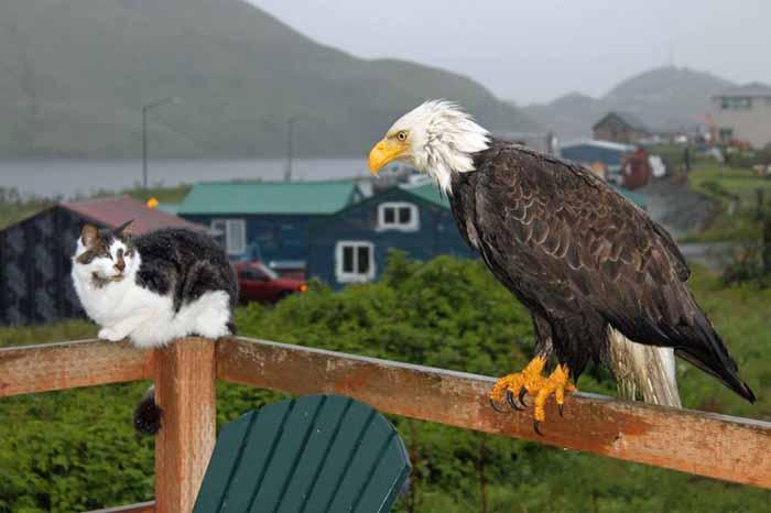 Каждый год в Уналашке случается около 10 случаев нападения орланов на людей, заканчивающихся серьезными ранениями.