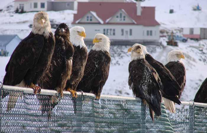 Белоголовые орланы в Уналашке.