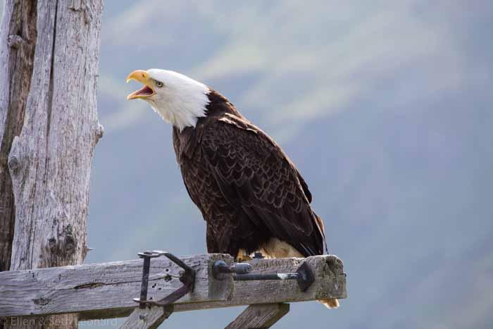На 4700 жителей Уналашки приходится более 600 орланов.