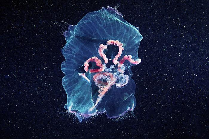 Призрачные цвета медуз.