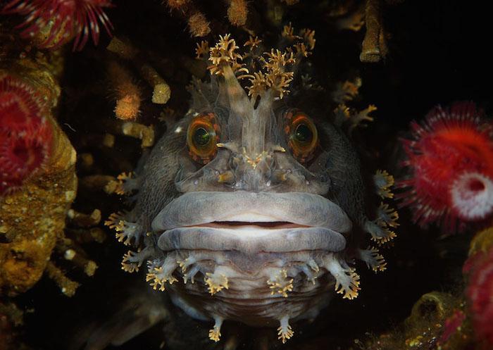 Абсолютный победитель: Chirolophis japonicas, Японское море. Фото: Андрей Шпатак.
