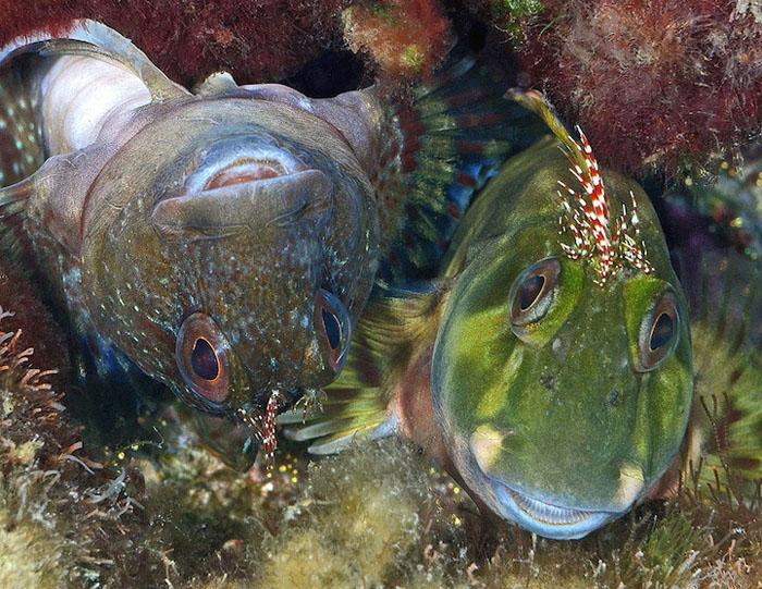 Морские собачки Молли Миллер (Scartella cristata), США. Фото: Judy Townsend.
