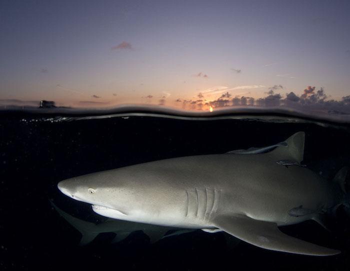 Лимонная акула (Negaprion brevirostris), Багамские острова. Фото: Laura Rock.