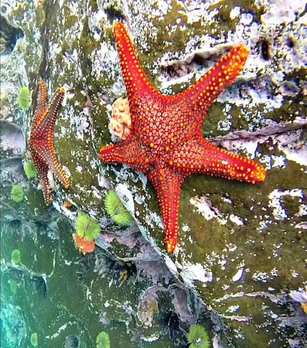 Морская звезда (Pentaceraster cumingi), Эквадор. Фото: Christopher Brown.