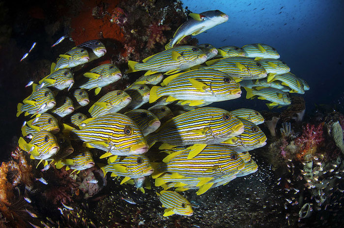 Стая ленточных сладкогубов (Plectorhinchus polytaenia), Индонезия. Фото: Filippo Borghi.
