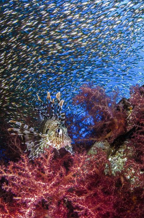 Рыба-лев (Pterois volitans) и стая пемферовых рыбок (Parapriacanthus guentheri), Израиль. Фото: Mark Fuller.