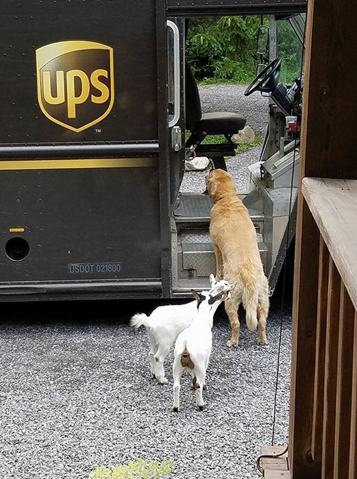 Бывает, что и не только собаки идут встречать почтальона.