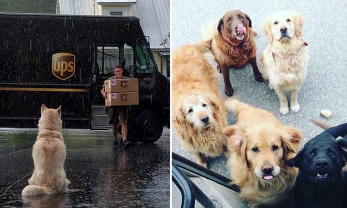 Собаки встречают почтальонов.