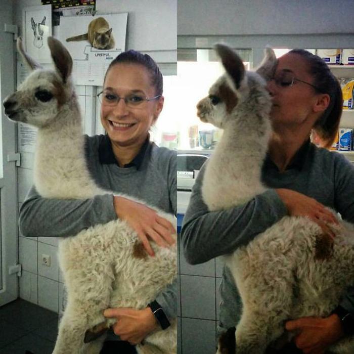 Будни ветеринара. На приеме четырехдневный детеных ламы.