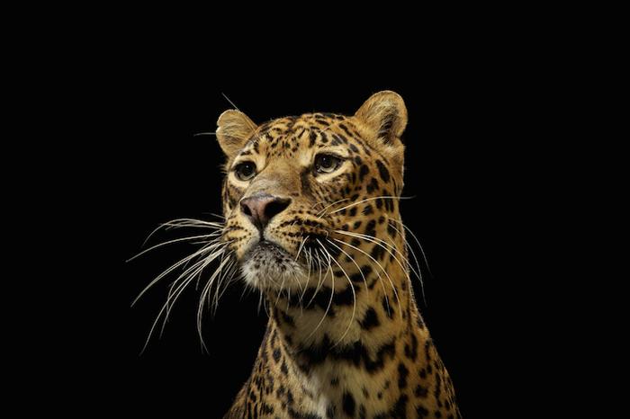 Леопард. Автор фото: Vincent J. Musi.