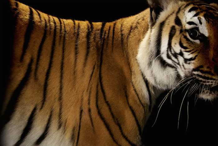Тигр. Автор фото: Vincent J. Musi.