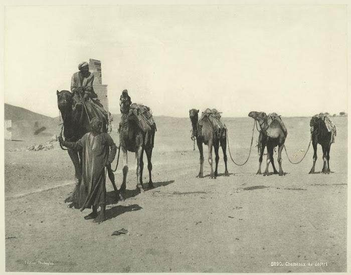 Верблюды в пустыне.