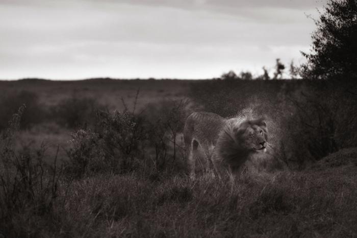 Лев в Кении.
