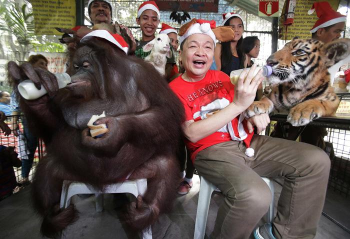 Владелец зоопарка Мэнни Тангко сидит рядом с орангутангом по имени Пакияо и с тигренком по имени Тигр Дутерте о время рождественской вечеринки. 21 декабря 2016.