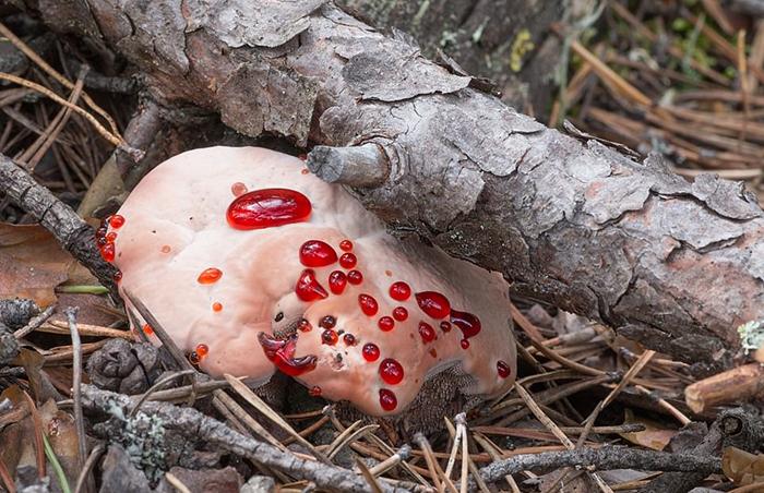 Кровоточащий гриб.