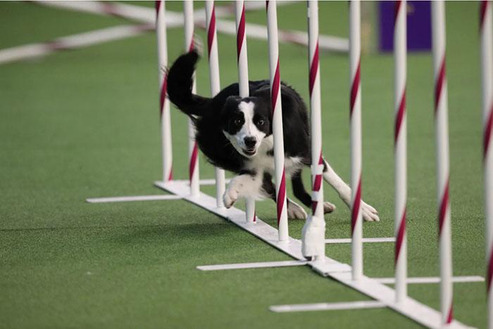 На соревнованиях Вестминстерского собачьего клуба.