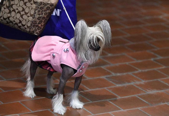 Китайская хохлатая собака ждет за кулисами.