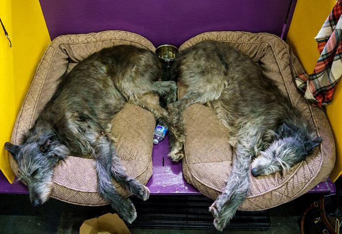 Ирландские волкодавы отдыхают в ожидании своей очереди выхода на ринг.