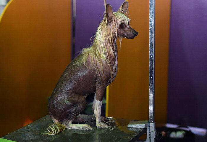 Китайскую хохлатую собаку моют перед выступлением.