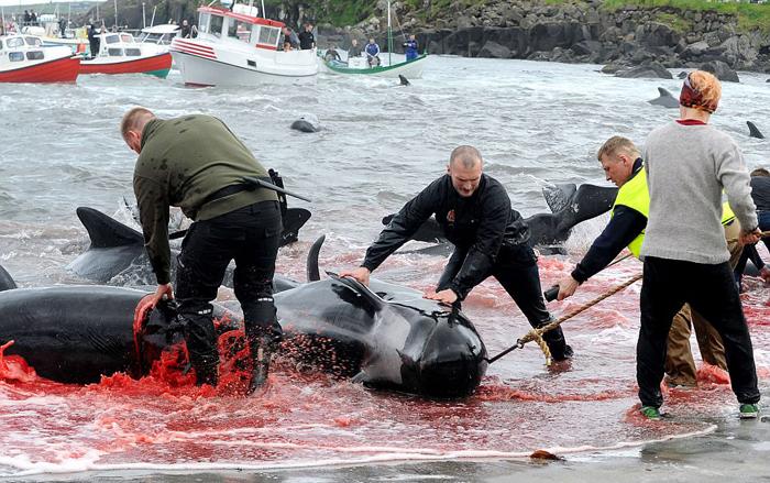 Мужчины подтаскивают с помощью гарпунов туши убитых дельфинов.