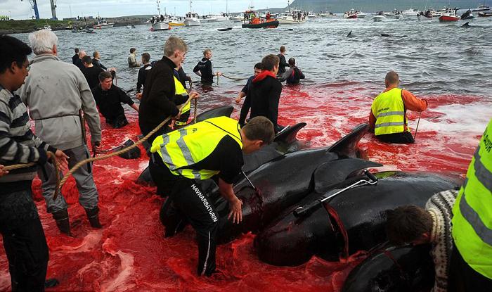 Мужчины разделывают туши дельфинов.