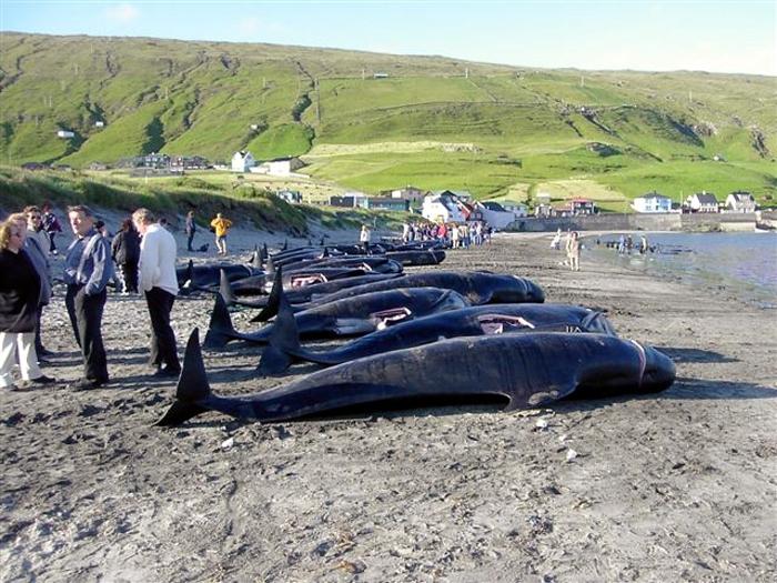 Убитые гринды на пляже поселения Хвалба, остров Суури.